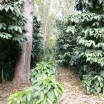 Specialty Coffee From Guatemala SHB COLOMBA Farm
